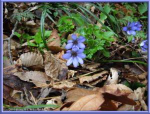 Apr13_022_MtKakuda_Hepatica_nobilis_var_japonica_f_magnaRC