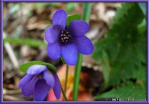 Apr13_026_MtKakuda_Hepatica_nobilis_var_japonica_f_magnaRC