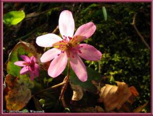 Apr13_032_MtKakuda_Hepatica_nobilis_var_japonica_f_magnaRC