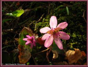 Apr13_034_MtKakuda_Hepatica_nobilis_var_japonica_f_magnaRC