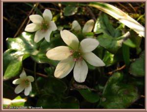 Apr13_043_MtKakuda_Hepatica_nobilis_var_japonica_f_magnaRC