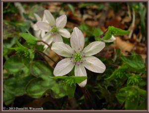 Apr13_048_MtKakuda_Hepatica_nobilis_var_japonica_f_magnaRC