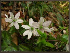 Apr13_050_MtKakuda_Hepatica_nobilis_var_japonica_f_magnaRC