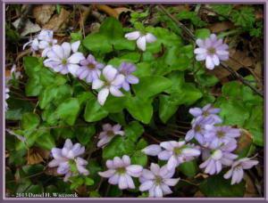 Apr13_059_MtKakuda_Hepatica_nobilis_var_japonica_f_magnaRC