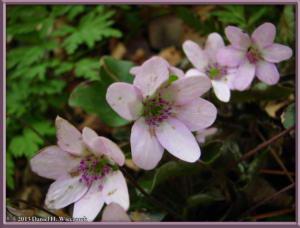 Apr13_065_MtKakuda_Hepatica_nobilis_var_japonica_f_magnaRC