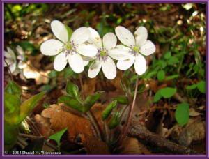 Apr13_080_MtKakuda_Hepatica_nobilis_var_japonica_f_magnaRC