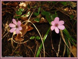 Apr13_089_MtKakuda_Hepatica_nobilis_var_japonica_f_magnaRC