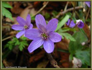 Apr13_094_MtKakuda_Hepatica_nobilis_var_japonica_f_magnaRC