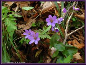 Apr13_097_MtKakuda_Hepatica_nobilis_var_japonica_f_magnaRC