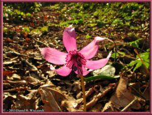 Apr13_104_MtKakuda_Erythronium_japonicumRC