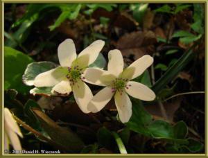 Apr13_111_MtKakuda_Hepatica_nobilis_var_japonica_f_magnaRC