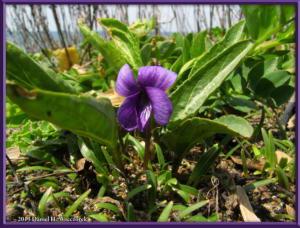 Apr14_80_KakizakiBeach_Viola_mandshurica_var_crassaRC