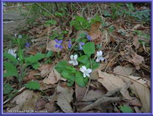 Apr26_002_Kawaguchi_Viola_keiskei_V_grypoceras_RC