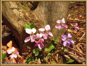 Apr26_030_Kawaguchi_PinkViola_grypoceras_RC