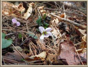 Apr26_057_Kawaguchi_Viola_variegata_var_nipponica_RC