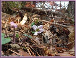 Apr26_060_Kawaguchi_Viola_variegata_var_nipponica_RC