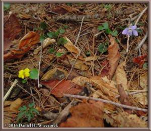 Apr26_128_Kawaguchi_Viola_orientalis_V_grypoceras_RC