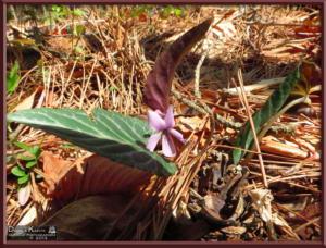 Apr27_028_MtKiritou_Viola_violacea_f_versicolor_RC
