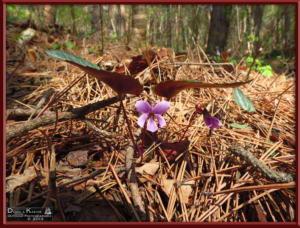 Apr27_038_MtKiritou_Viola_violacea_f_versicolor_RC