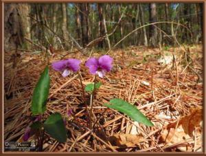 Apr27_042_MtKiritou_Viola_violacea_f_versicolor_RC