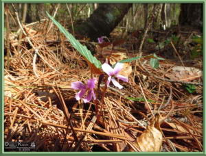 Apr27_058_MtKiritou_Viola_violacea_f_versicolor_RC
