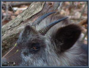Apr27_084_MtKiritou_Kamoshika_Capricornis_crispus_RC