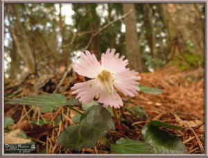Apr27_089_MtKiritou_Shortia_uniflora_RC