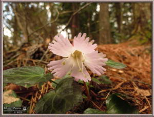 Apr27_090_MtKiritou_Shortia_uniflora_RC