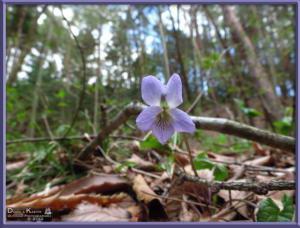 Apr27_145_MtKiritou_Viola_mirabilis_var_subglauca_RC