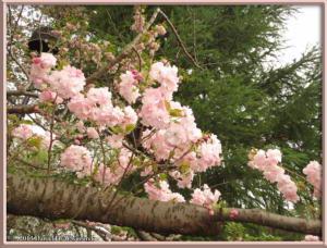 April06_16_JindaiBG_CherryBlossomsRC