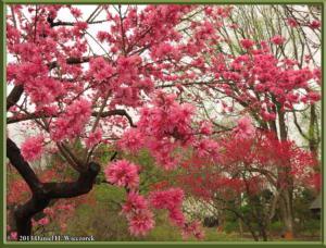 April06_21_JindaiBG_PeachBlossomsRC