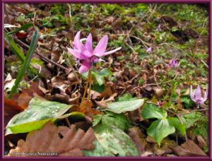 April13th_MtKakuda023_ErythroniumJaponicumRC