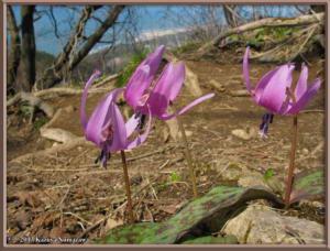 April13th_MtKakuda127_ErythroniumJaponicumRC