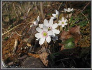 April13th_MtKakuda180_HepaticaNobilisVarJaponicaFMagnaRC