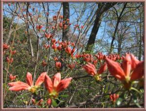 April7thMinamiTakao012_RhododendronKaempferiRC