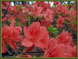 April7thMinamiTakao037_RhododendronKaempferiRC