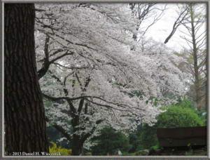 Mar29_04_ICU_CherryBlossomsRC
