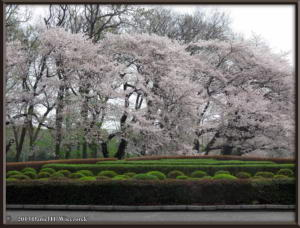 Mar29_12_ICU_CherryBlossomsRC