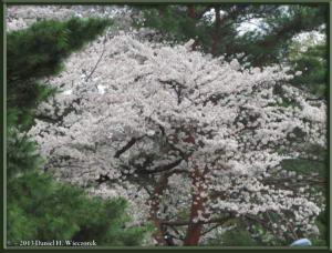 Mar29_13_ICU_CherryBlossomsRC