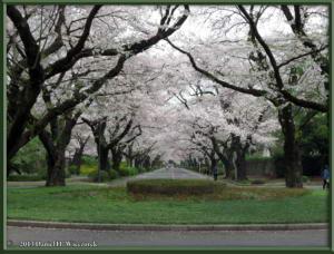 Mar29_16_ICU_CherryBlossomsRC