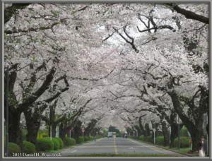 Mar29_17_ICU_CherryBlossomsRC