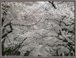 Mar29_18_ICU_CherryBlossomsRC