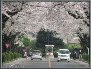 Mar29_19_ICU_CherryBlossomsRC