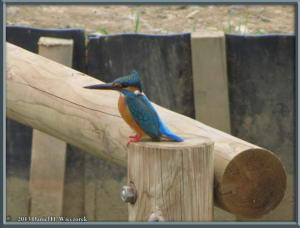 Mar29_25_MusashinoPk_Kingfisher_Alcedo_atthisRC