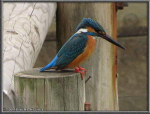 Mar29_27_MusashinoPk_Kingfisher_Alcedo_atthisRC