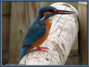 Mar29_47_MusashinoPk_Kingfisher_Alcedo_atthisRC