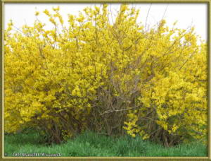 Mar29_61_MusashinoPk_ForsythiaRC