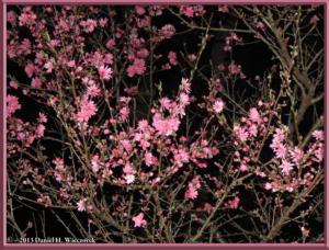 Mar31_16_JindaiBG_Hanami_LightsRC