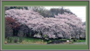Apr01_04_NogawaMusashinoPk_CherryBlossomsRC