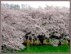 Apr01_09_NogawaMusashinoPk_CherryBlossomsRC
